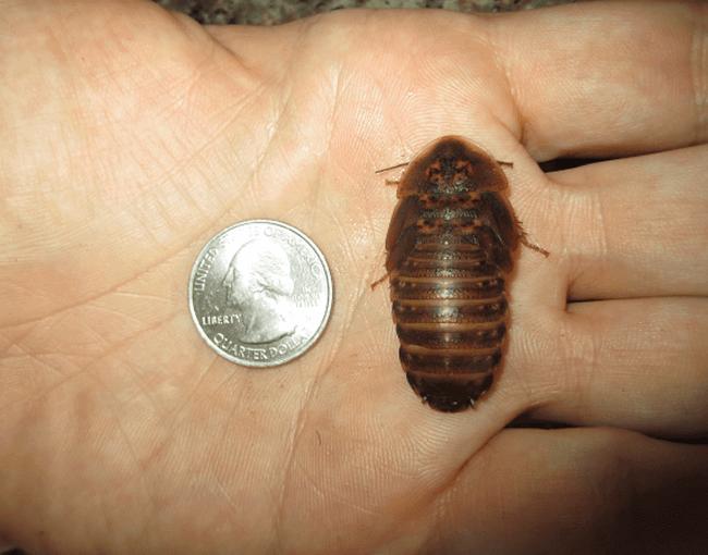 Dubia roach next to a quarter