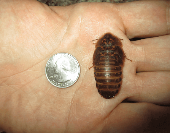 Dubia roach compared to quarter