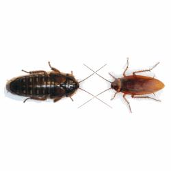 Dubia Roach vs. American Cockroach