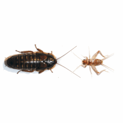 Dubia Roach vs. Banded Cricket