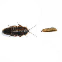 Dubia Roach vs. Black Soldier Fly Larvae