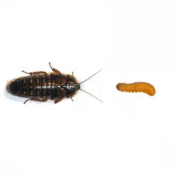 Dubia Roach vs. Butterworm