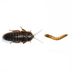 Dubia Roach vs. Giant Mealworm