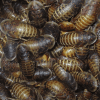 Mass of 1-½ Inch Dubia Roaches