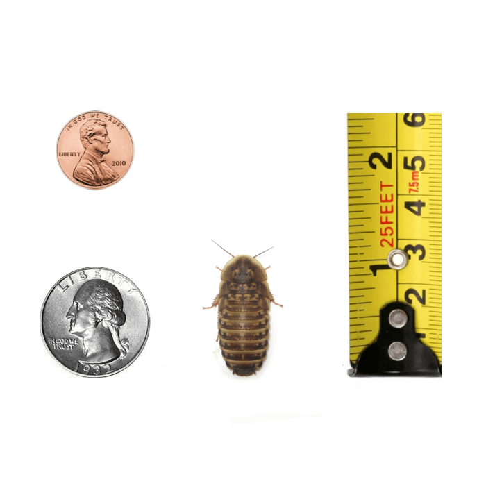 1-inch Dubia Roach Nymph Size Comparison - Coins and Ruler