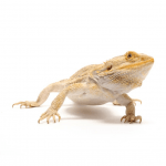 bearded dragon standing looking right