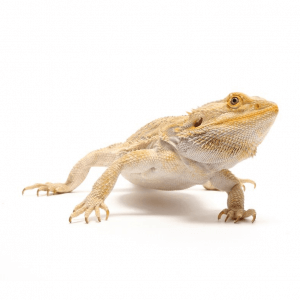 Dubia Roaches for Bearded Dragons