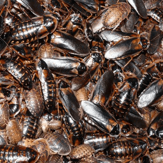 Roach Growth and Population Density