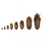 different sized Dubia roaches