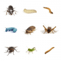 Dubia roach with other feeder insects