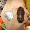 Dubia Roach With Food