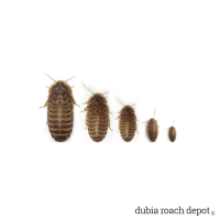 Dubia Roach Size Sampler