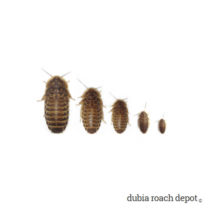 Dubia roach size sampler