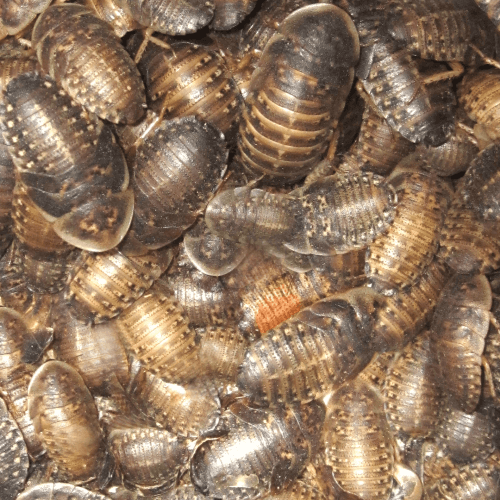 Dubia Roach Variety Pack