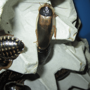 Breeding Dubia Roaches: A Comprehensive Guide