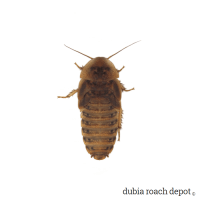 1-¼ Inch Dubia Roach product image