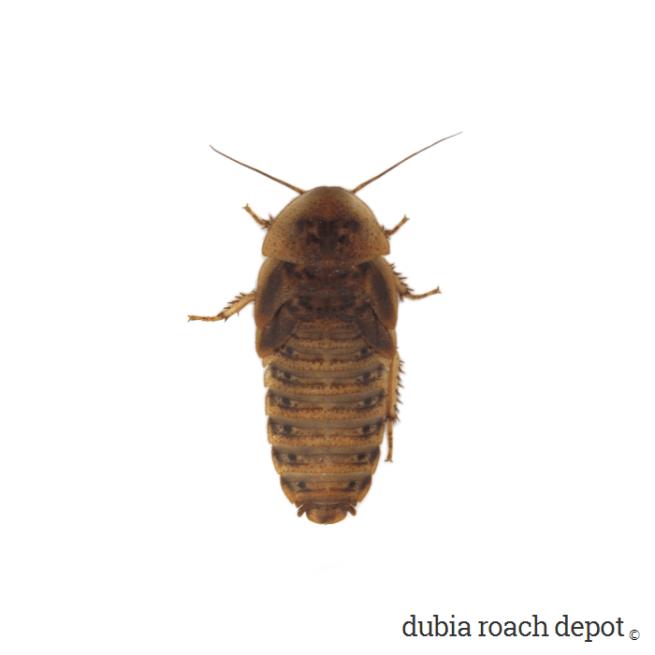 1-¼ Inch Dubia Roach