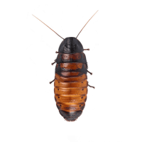 Madagascar Hissing Cockroach product image