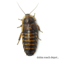 Mature Adult Female Dubia Roach