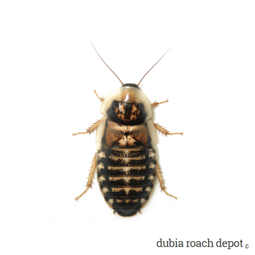 Newly Emerged Adult Female Dubia Roach