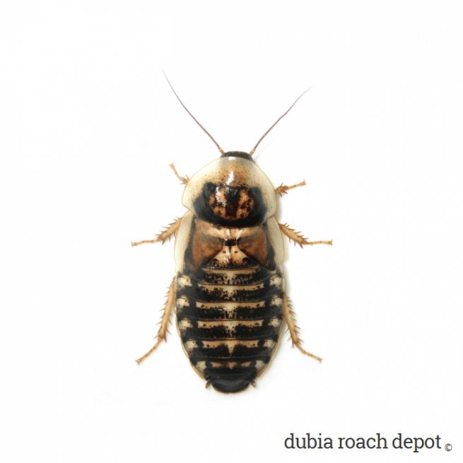 Newly Emerged Adult Female Dubia Roach