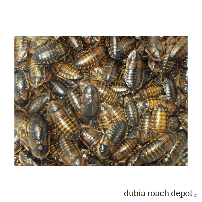 Group of New Adult Female Dubia Roaches