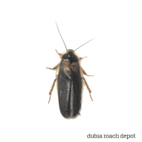 Newly-emerged Adult Male Dubia Roach product image