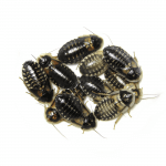 Female Dubia Roaches