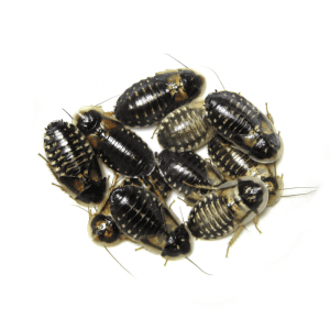 Troubleshooting Dubia Roach Breeding Problems