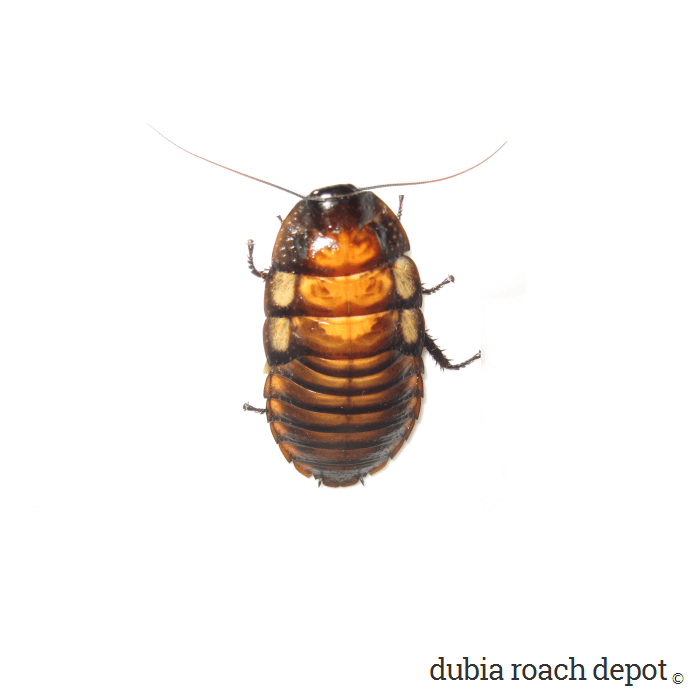 Other Roach Species