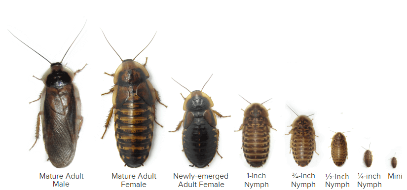 Dubia Roach Sizes and Stages - Nymph Through Adult