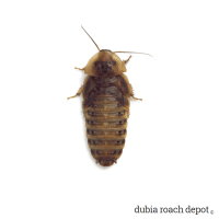 1-1/2 Inch Dubia Roach product image